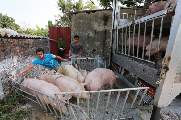 Giá thịt heo hơi xuất chuồng lập kỷ lục: 76.000 đồng/kg - Ảnh 1.
