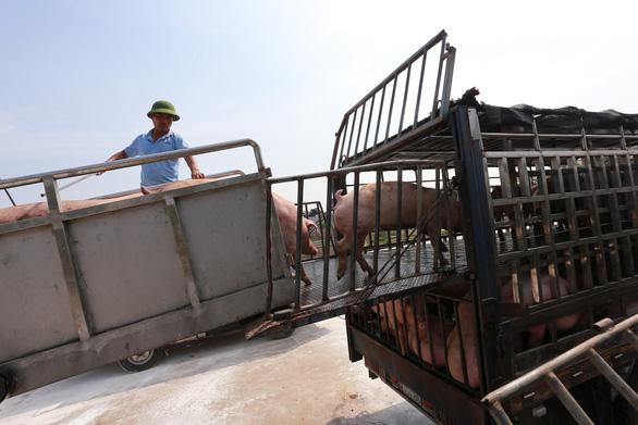 Giá thịt heo hơi xuất chuồng lập kỷ lục: 76.000 đồng/kg - Ảnh 2.