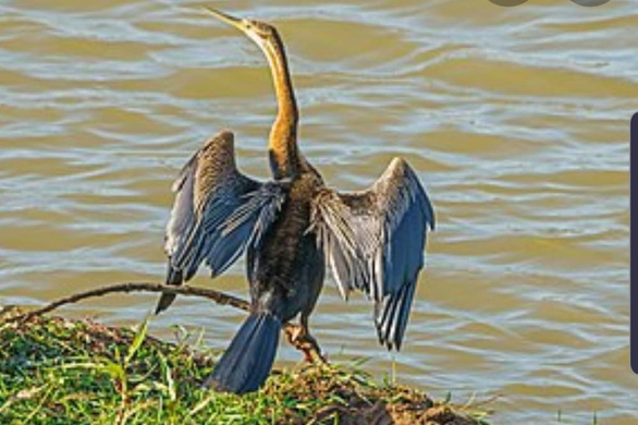 Phát hiện hàng trăm con chim cổ rắn quý hiếm tại khu du lịch Bửu Long - Ảnh 1.