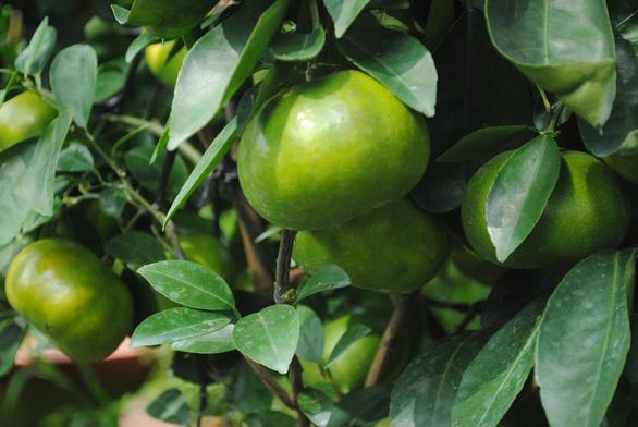 Quýt hồng Lai Vung trồng chậu độc, lạ sẵn sàng phục vụ Tết Canh Tý 2020 - Ảnh 3.