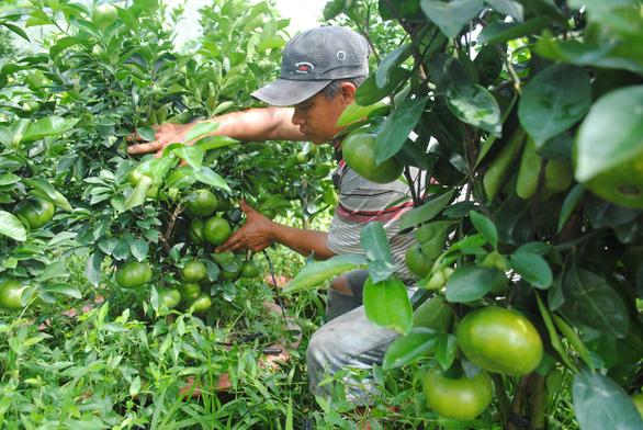 Quýt hồng Lai Vung trồng chậu độc, lạ sẵn sàng phục vụ Tết Canh Tý 2020 - Ảnh 4.