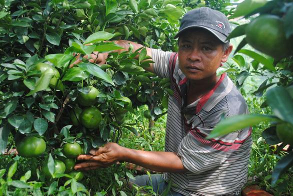 Quýt hồng Lai Vung trồng chậu độc, lạ sẵn sàng phục vụ Tết Canh Tý 2020 - Ảnh 1.