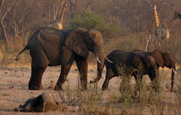 200 con voi chết vì đói khát, Zimbabwe chuẩn bị đợt di tản động vật lớn nhất lịch sử - Ảnh 1.