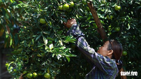 Làng miền Trung có cây trái quanh năm như miệt vườn Nam Bộ - Ảnh 2.
