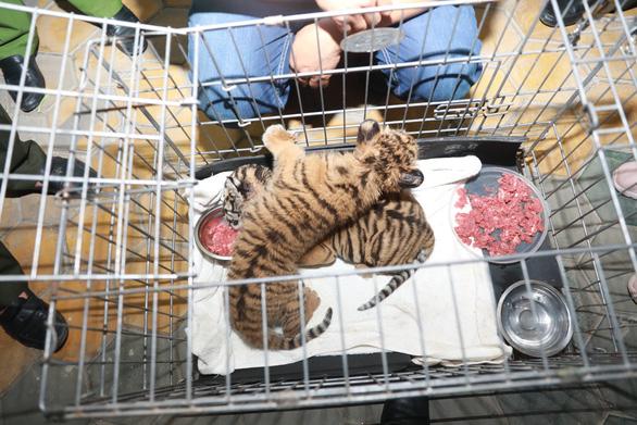 Công an Hà Tĩnh giải cứu 2 con hổ con - Ảnh 1.