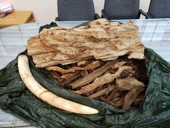 Mang nguyên chiếc ngà voi từ Thái Lan về Việt Nam - Ảnh 1.