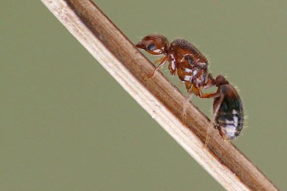 Nhật Bản nguy cơ mất hàng tỉ USD vì kiến lửa đỏ - Ảnh 1.