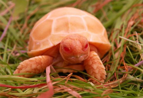 Lạ lùng rùa bạch tạng đỏ như rồng lửa - Ảnh 6.