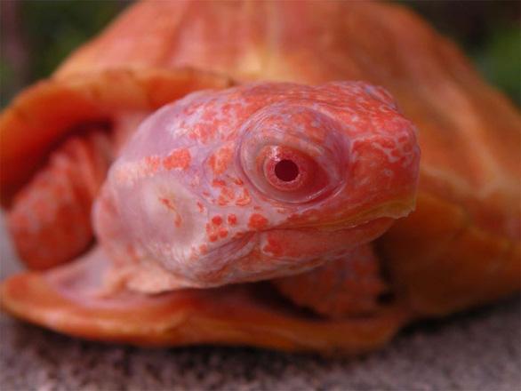 Lạ lùng rùa bạch tạng đỏ như rồng lửa - Ảnh 7.