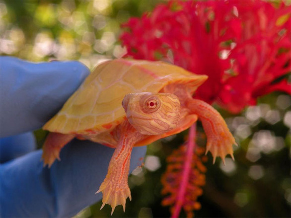 Lạ lùng rùa bạch tạng đỏ như rồng lửa - Ảnh 1.
