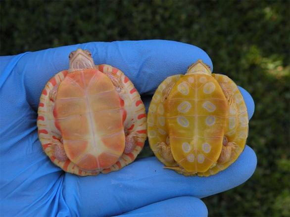 Lạ lùng rùa bạch tạng đỏ như rồng lửa - Ảnh 4.