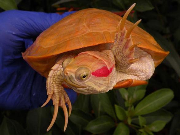 Lạ lùng rùa bạch tạng đỏ như rồng lửa - Ảnh 8.