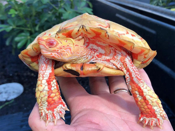 Lạ lùng rùa bạch tạng đỏ như rồng lửa - Ảnh 3.