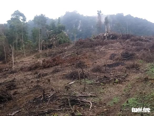 Lâm tặc lấy hàng trăm cây gỗ, kiểm lâm, chính quyền vẫn... giải trình - Ảnh 3.