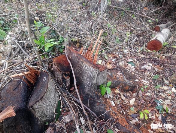 Lâm tặc lấy hàng trăm cây gỗ, kiểm lâm, chính quyền vẫn... giải trình - Ảnh 5.