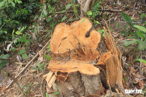 Lâm tặc lấy hàng trăm cây gỗ, kiểm lâm, chính quyền vẫn... giải trình - Ảnh 11.