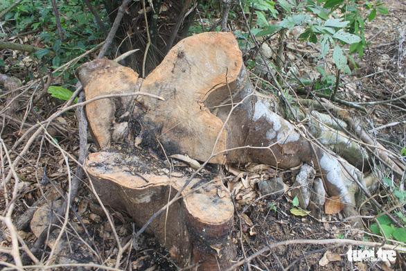 Lâm tặc lấy hàng trăm cây gỗ, kiểm lâm, chính quyền vẫn... giải trình - Ảnh 7.