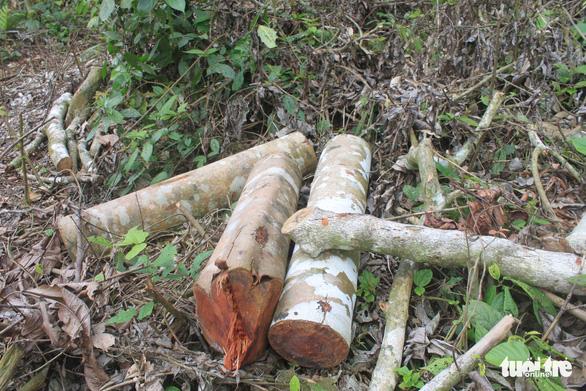 Lâm tặc lấy hàng trăm cây gỗ, kiểm lâm, chính quyền vẫn... giải trình - Ảnh 8.