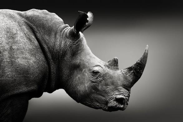 Làm giả sừng tê giác bán ra thị trường có cứu được tê giác thật? - Ảnh 1.
