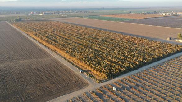 Phát hiện 10 triệu cây cần sa trồng trái phép trị giá 1 tỉ USD ở California - Ảnh 1.