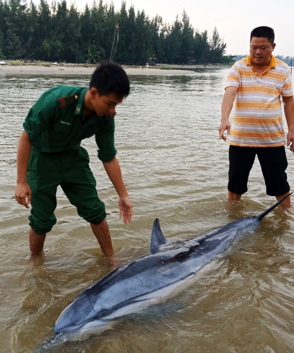 Cá heo 100kg lụy bờ được người dân, biên phòng tiếp sức ra lại biển - Ảnh 1.