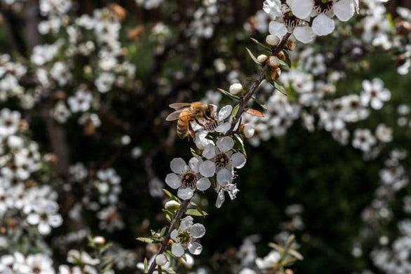 Tranh chấp quyết liệt vì loại mật ong thần dược - Ảnh 2.