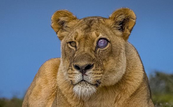 Sư tử đổi màu mắt sau cuộc chiến với lợn hoang - Ảnh 1.