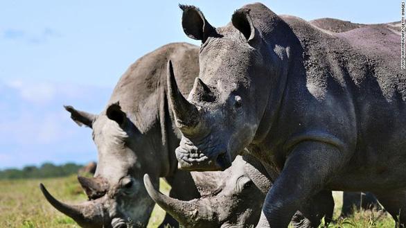 Chế tạo sừng tê giác giả để cứu tê giác thật - Ảnh 2.