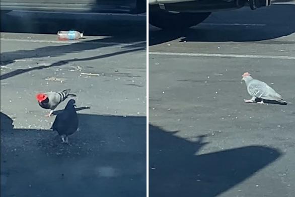 Chim bồ câu đội mũ cao bồi bí ẩn gây tranh cãi - Ảnh 3.