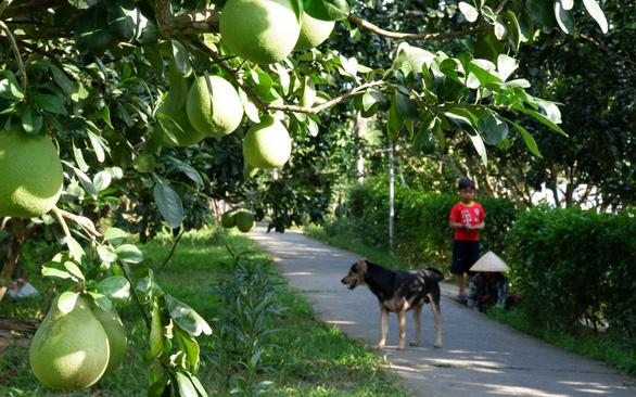 Kể chuyện cây trái miền Tây - Kỳ 5: Nức tiếng bưởi năm roi - Ảnh 1.