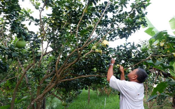 Kể chuyện cây trái miền Tây - Kỳ 5: Nức tiếng bưởi năm roi - Ảnh 2.