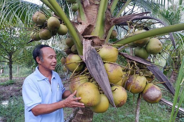 Kể chuyện cây trái miền tây - Kỳ 4:  Trời cho dừa sáp Cầu Kè - Ảnh 2.