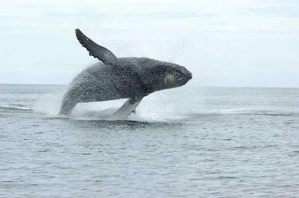 Bị phạt 1.500 USD vì... đến gần cá voi - Ảnh 1.