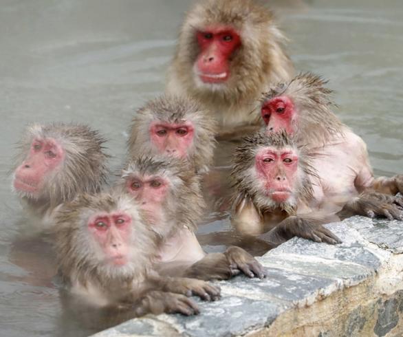 Nhật xây khu suối nước nóng cho khỉ nghỉ dưỡng - Ảnh 3.