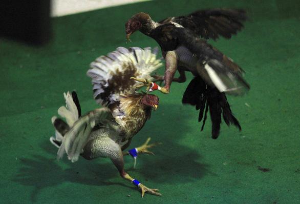Quốc hội Mỹ cấm đá gà, gây sóng giận dữ ở Puerto Rico - Ảnh 1.