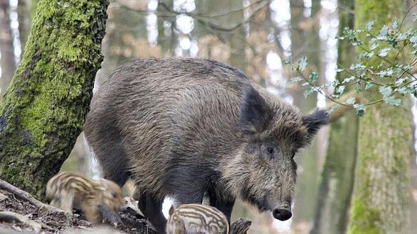 Châu Âu đua nhau lập hàng rào điện, diệt heo rừng mang dịch tả - Ảnh 1.