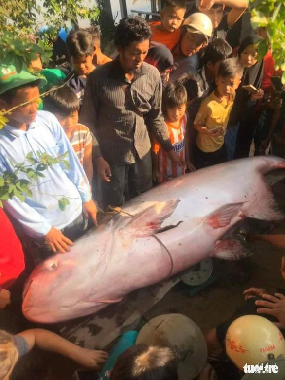 Nông dân An Giang bắt được cá tra dầu 230kg - Ảnh 1.