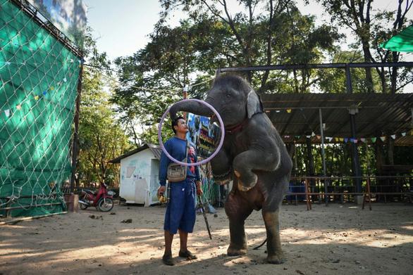 Thảm cảnh của những con voi phục vụ du lịch ở Thái Lan - Ảnh 1.