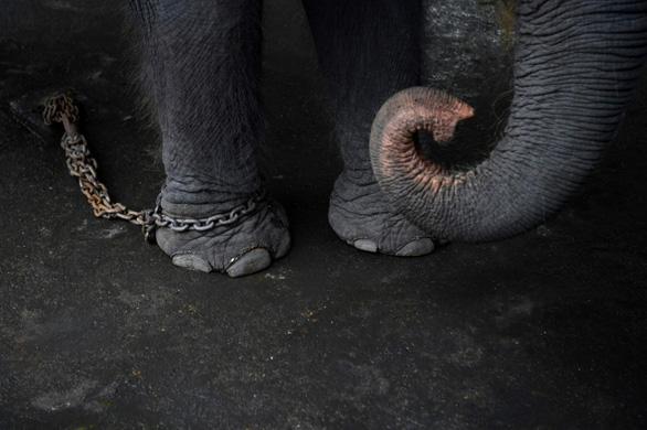 Thảm cảnh của những con voi phục vụ du lịch ở Thái Lan - Ảnh 2.