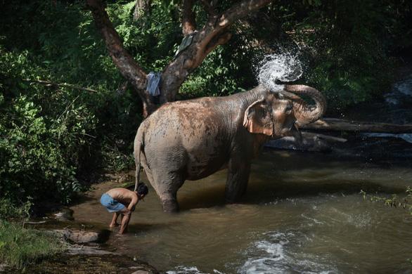 Thảm cảnh của những con voi phục vụ du lịch ở Thái Lan - Ảnh 6.