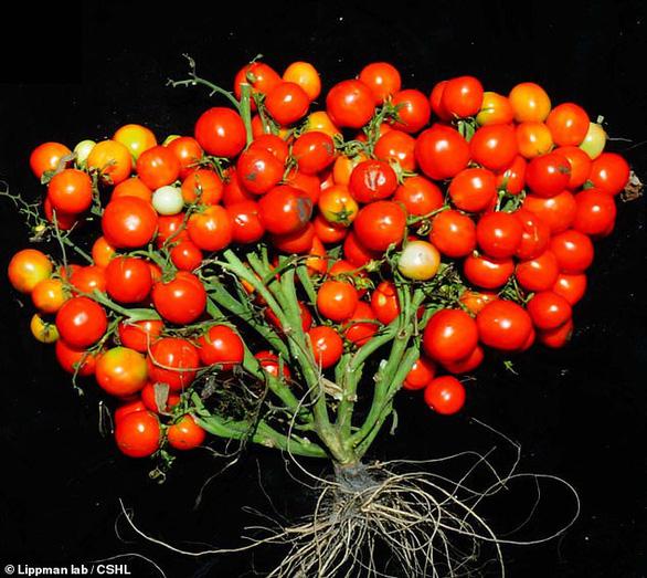 Cà chua ra trái chùm như nho - Ảnh 1.