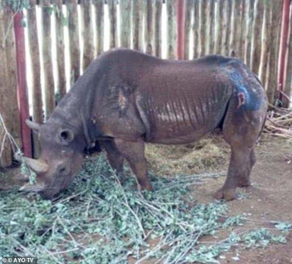 Tê giác già nhất thế giới qua đời ở tuổi 57 - Ảnh 1.