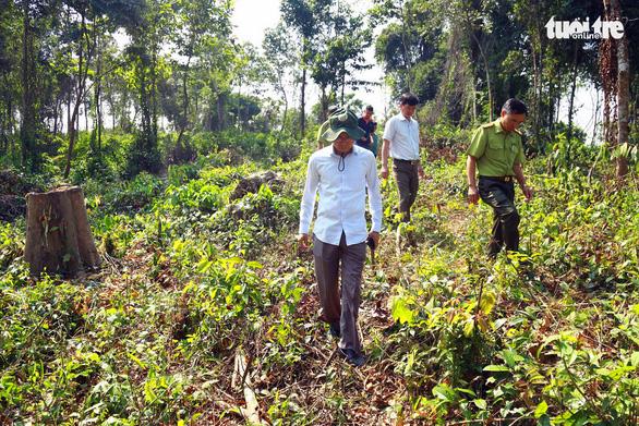 Đốn cây rừng để trồng cây thuốc: Chặt cây không xin phép là vi phạm - Ảnh 1.