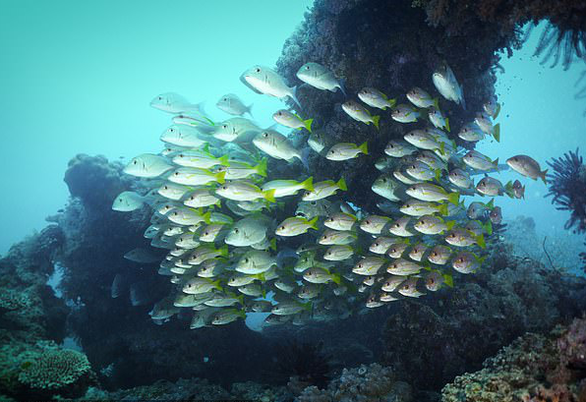 Mở nhạc dưới biển để hồi sinh san hô - Ảnh 2.