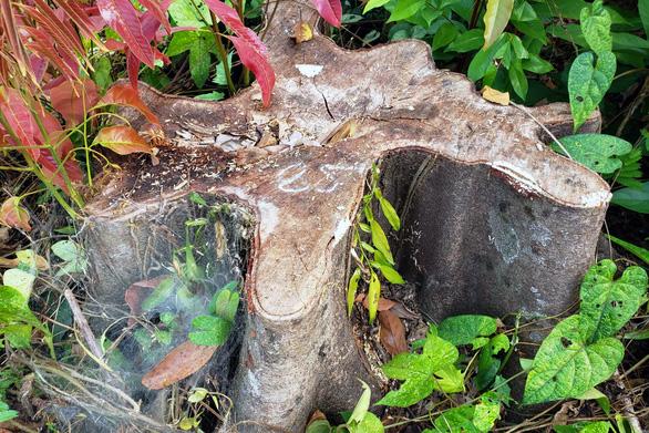 Thanh tra vụ đốn hạ cây rừng tự nhiên trong khu bảo tồn ở Đồng Nai - Ảnh 2.