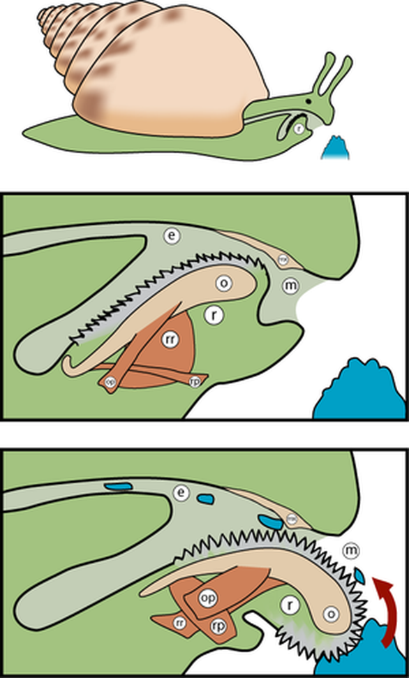 Loài vật có tới 25.000 chiếc răng trong miệng - Ảnh 3.