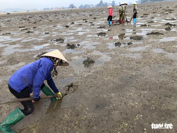 Theo chân những phụ nữ đào vàng ròng trên bãi biển Vân Đồn - Ảnh 1.
