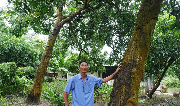 Kể chuyện cây trái miền Tây: Kỳ 1: Đệ nhất danh xoài cát Hòa Lộc - Ảnh 5.