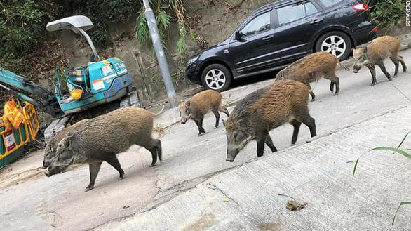 Heo rừng đại náo phố xá, nhà dân ở Hong Kong - Ảnh 3.