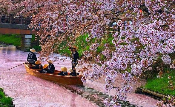 Người Nhật dự báo hoa anh đào nở bằng cách nào? - Ảnh 1.